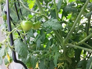 Tomats!